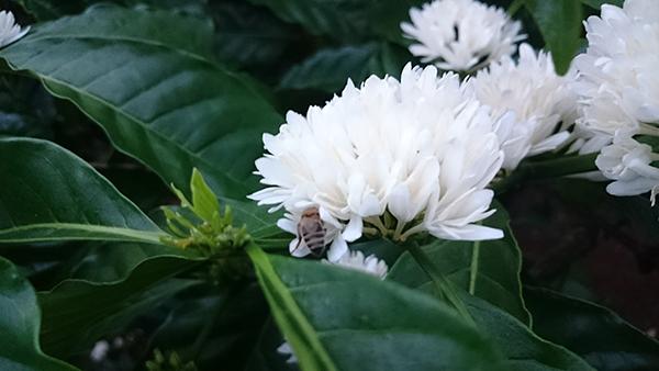Hoa cafe màu trắng