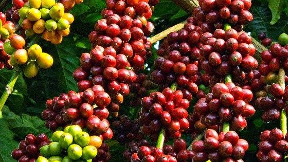 Những trái cafe chín mọng được chọn làm cafe nguyên liệu