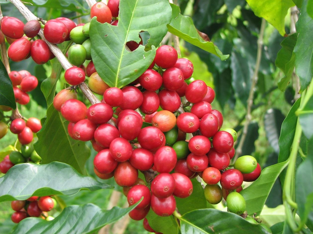 Lịch sử du nhập cà phê vào Việt Nam